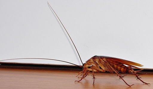 cockroach disease