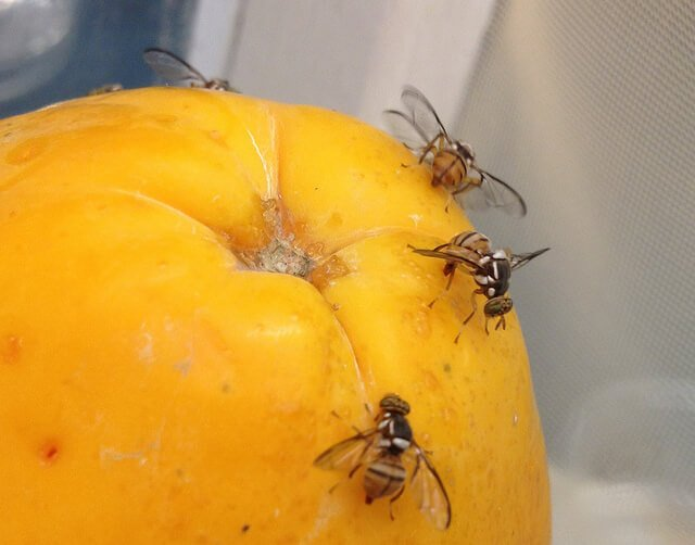 Fruit flies on decaying fruit