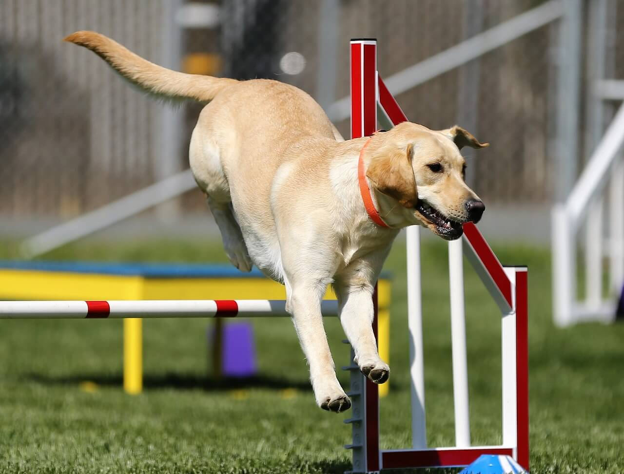 dog agility course