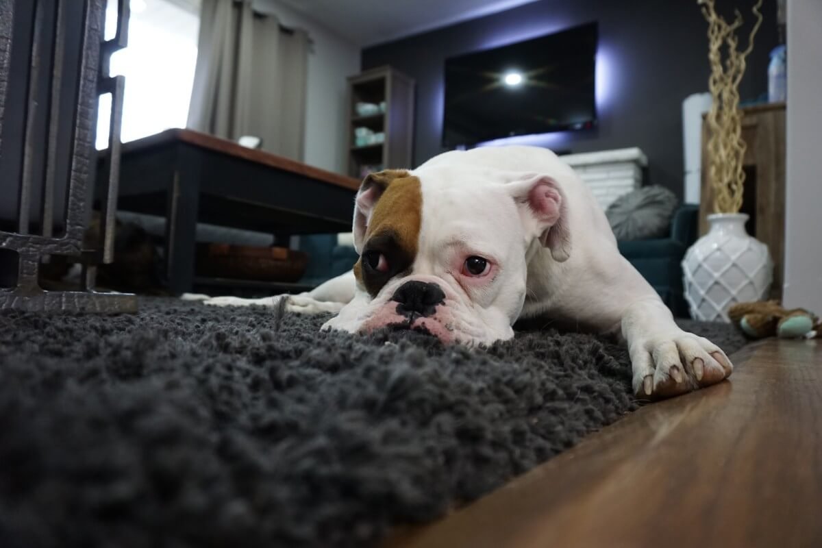 pet proof carpet